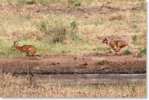 lion-impala