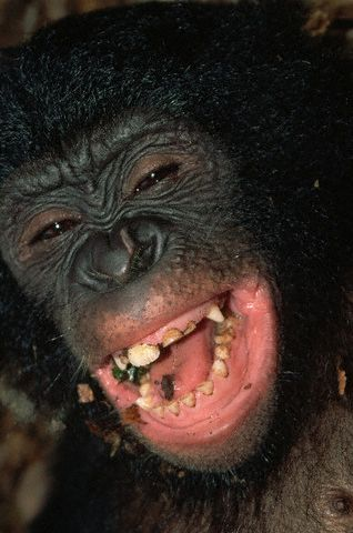 Pygmy Chimpanzee Laughs